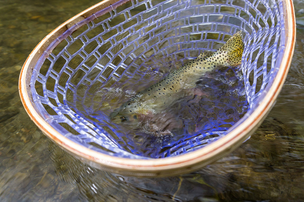 Cutthroat Trout in Net - How to Safely Handle Fish - Catch and Release