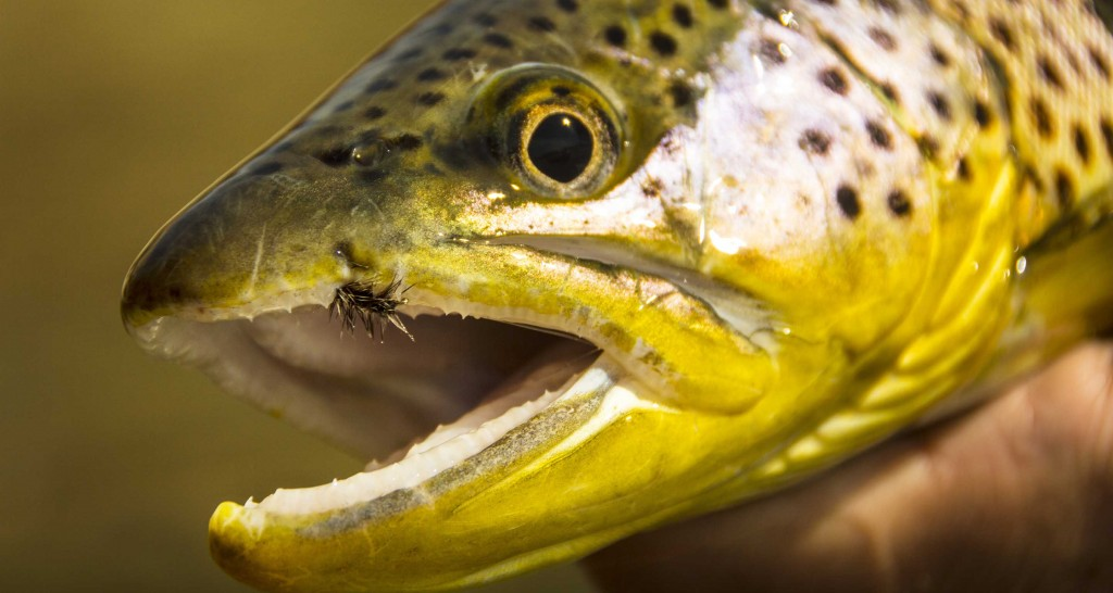 brown trout - fly fishing entomology